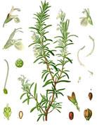 feuilles basilic jaunissent